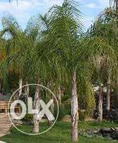 All sizes of palm trees from 100 to 1500