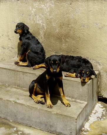 Rottweilers on sale Hazina - image 1