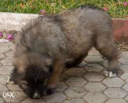 Top quality male Caucasian puppy