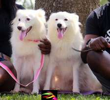 Adult Male & Female Samoyed