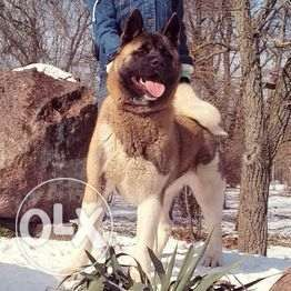 American Akita Male 8 months with excellent pedigree