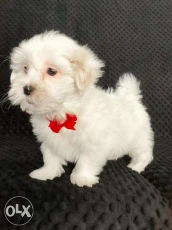 Stunning Maltese's puppies for sale