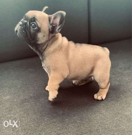 """The Cutest Imported French Bulldog Male """"Top Quality"""""""