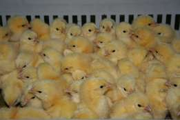 Day old broiler chicks, ross 308 and cobb 500. A grade and B grade for