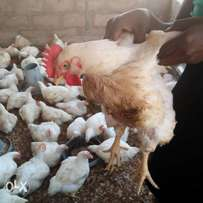 X'mas Chicken for sale