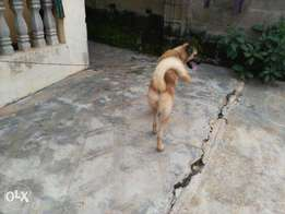 Active male GSD For sale