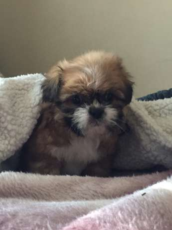 Shih Tzu pups for sale Cythiavale - image 6