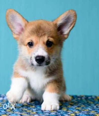 Imported corgi puppies, top quality with Pedigree.. All colors