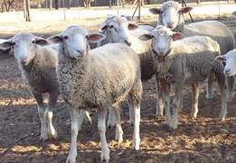 Sheep for sale three ram lams not castrated with tales and two fat ewe