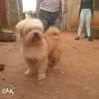 Adult male Lhasa for sale