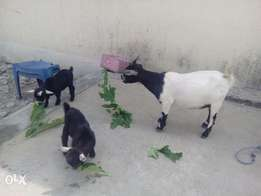 female Goat with two kids male and female