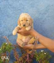Top Quality golden retriever puppies, males and females