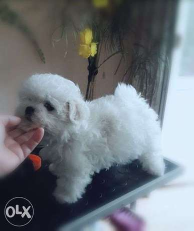 """Imported Male Maltese puppy """"Top Quality"""" with all documents"""