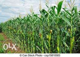 kirinyaga county ~green maize plants for animal feeding