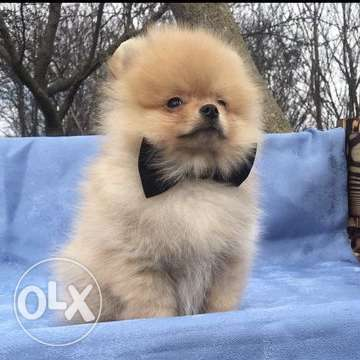 Pomeranian Spitz puppy, boy Age 2.5 months Gorgeously dressed in wool