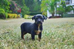 1 Month Old Rottweiler Puppies