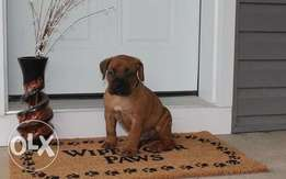 Boerbel Puppy For Sale