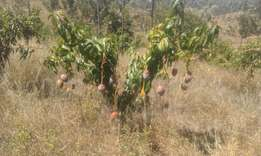 Mangoes Farm for Sale
