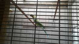 Indian Ringneck Parrots for sale, 2 left.