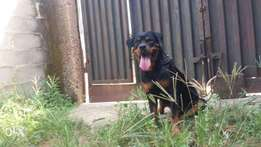 A healthy male rottweiller for sale.