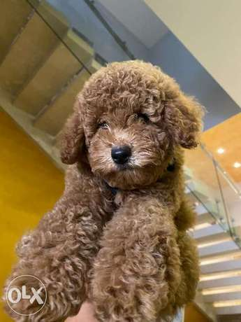 Best Imported Toy Poodle from Europe