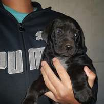 Awesome little German Short hair pointer X puppies
