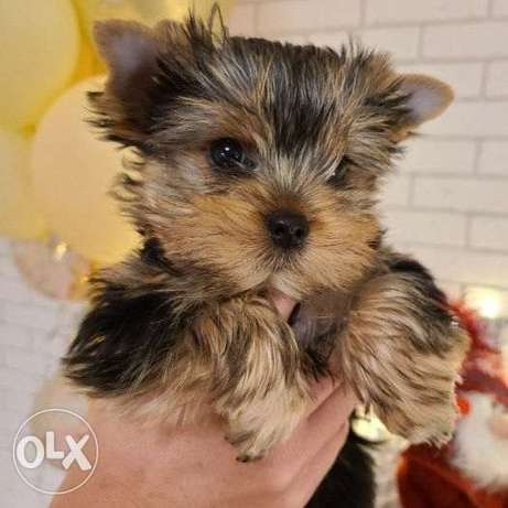 Yorkshire Terrier puppy for sale (age: 2.5 months).