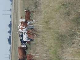 Nguni cows and calves for sale