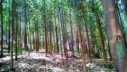 1acre of 3years old eucalptus trees for sale in Fort Portal at 22M