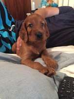 Beautiful Irish Setter Puppy