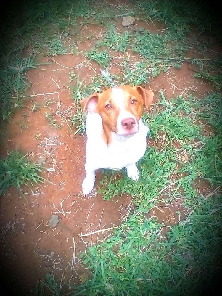 Dogs Jack Russell - Classified ads for Pets in Gauteng   OLX South