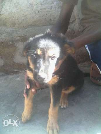 Dog for sale Ruai - image 1