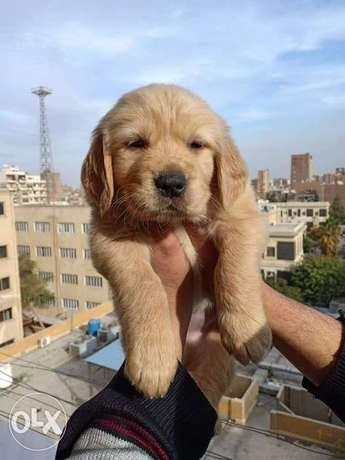 Super Duper Golden Retriever Puppies Bear Face Imported