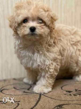 Expensive Top Quality Maltipoo Male 2 months From Ukraine