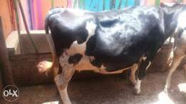 Heifers for sale.