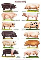 Pig Breeds available - Pigs and Piglets