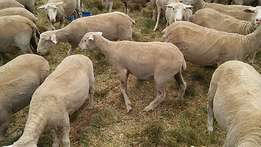 Dorper and Merino Sheep