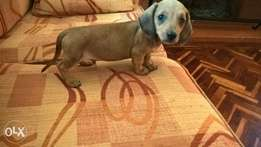 2 month old Dachshund male puppy for sale