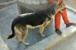 Gsd female a year n 3mnth old