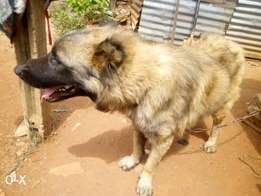 MALE CAUCASIAN grown up dog