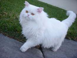 Adorable-White-Persian-Cat-Going-For-Walk