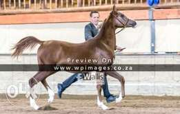 Registered Purebred Arabian Colt
