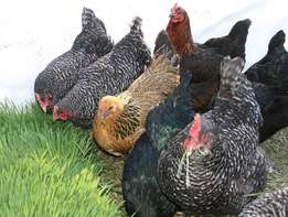 Mature Rainbow rooster Cocks and hen for sale