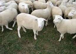boer goats and sheep for sale