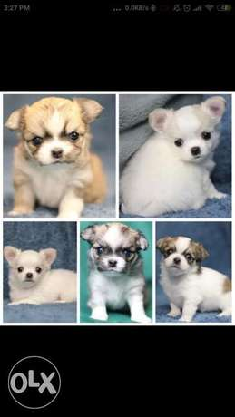 Chihuahua babies: girls and boys available NOW in Egypt