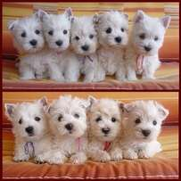 Beautiful Kusa Registered West Highland White Terrier Puppies For Sale