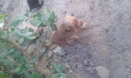 Cockerspanial puppies for sale