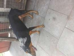 Male Doberman available for crossing at a cool price