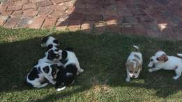 Jack Russel Puppies - adorable and fun loving!