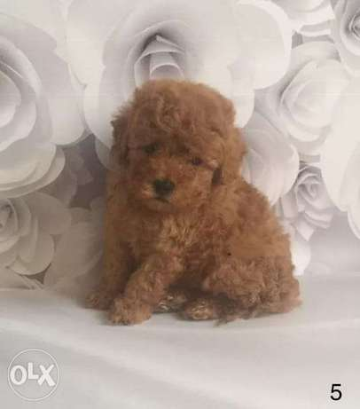 Toy poodle puppies... With Pedigree